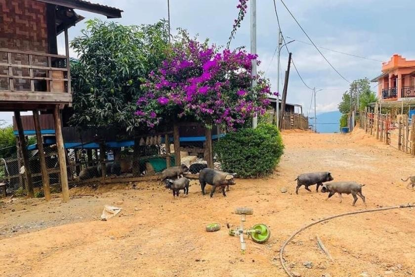 With most of its human inhabitants now gone, pigs roam the streets of Mindat in search of food. (Chin World)